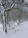 Woodland Snow, Hirwaun(3)