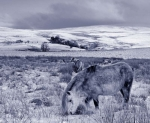 A blue-tinted mono shot of wild ponies on the moorland north of Penderyn, Brecon Beacons National Park.