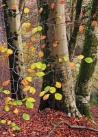 Autumn colour Detail in the Beech Wood, Pontsarn