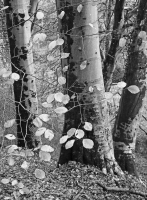 Woodland Detail in  Mono, Pontsarn