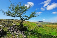 A spindly hawthorn struggles to survive in the rocky and widswept environs of Ogof Ffynnon Ddu and Pant Mawr, nr Penwyllt. The long ridge of Fan Hir stretches away to the north-west