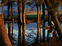 The still waters of an upland tarn reflect the resident pine trunks and the distant Beacons