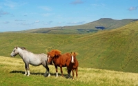 Wild ponies on Fan Dringarth with Corn Du and Pen y Fan on the eastern horizon.